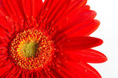 Red beautiful gerbera flower — Stok fotoğraf