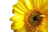 Yellow beautiful gerbera flower isolated over white — Stock Photo