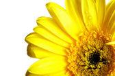 Yellow beautiful gerbera flower — Stock Photo