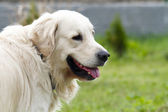Golden retriever — Stock Photo