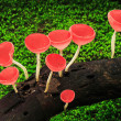 Red cup mushrooms — Stock Photo