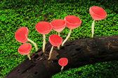 Rojo taza champiñones — Foto de Stock