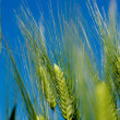 Wheat with blue sky - Stock Photo