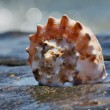Shell in the sea — Stock Photo