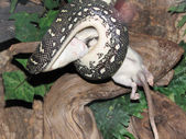 Snake eating mouse — Stock Photo