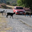 Goats on the road — Stock Photo
