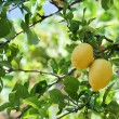 Lemon on the tree — Stock Photo