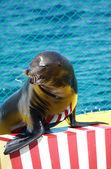 Lion de mer — Photo
