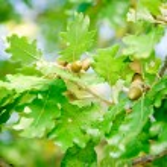 Oak Branch with Acorns — Stock Photo