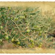 Royalty-Free Stock Photo: Olive branch