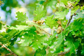 Oak Branch with Acorns — Stock Photo