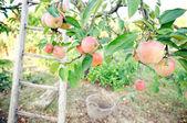 Apple tree — Stock Photo