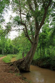 Tropical tree in Myanmar — Stock Photo