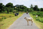 Myanmar landscape with a cow in on the road — Stock Photo