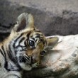 Tiger cub — Stock Photo #10636365