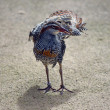 Stock Photo: Buff banded rail