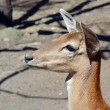 Deer closeup — Stock Photo