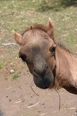 Camel close up — Stock Photo