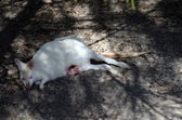 Albino kanguru tüysüz joey ile — Stok fotoğraf