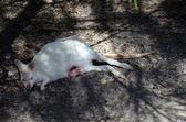 Canguro albino con joey sin pelo — Foto de Stock