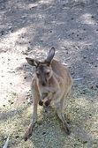 Ki-känguru — Stockfoto
