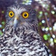 Powerful owl — Stock Photo