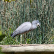 White faced heron - Stock Photo