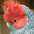 Gang-gang parrot — Stock Photo