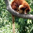 Tree kangaroo — Stockfoto