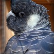 Stock Photo: Black cockatoo
