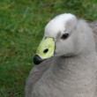 Cape barren goose — Stock Photo