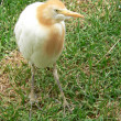 Cattle egret — Stock fotografie