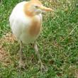 Cattle egret — Stock Photo