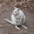 Albino wallaby — Stock Photo #8394921