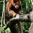 Royalty-Free Stock Photo: Tree kangaroo