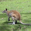 Agile wallaby — Stock Photo #8395661
