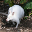 Albino wallaby — Stock Photo #8395696