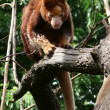 Tree kangaroo — Stockfoto #8396883