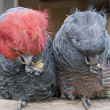 Gang-gang parrots — Stock Photo
