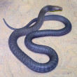 Tiger snake — Stock Photo #8397637