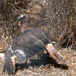 Stock Photo: Wedge tailed eagle