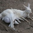 Stock Photo: Albino kangaroo with joey