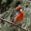 Stock Photo: Crimson chat bird