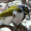 Blue eyed honeyeater — Stock Photo