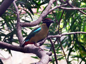Noisy pitta — Stock Photo