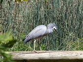 White faced heron — Stock Photo