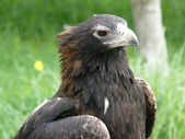 Wedge tailed eagle — Stock Photo