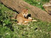 Złoty dingo — Zdjęcie stockowe