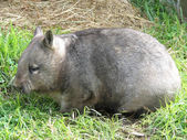 Australian wombat — Stock Photo