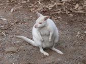 Albino wallaby — Stock Photo